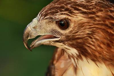 Hawk Photograph - Hawk Eyes by Dan Sproul