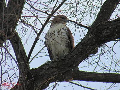 Hawk Original by Michael Rucker