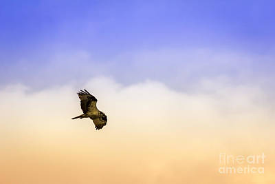 Soaring Photograph - Hawk Over Head by Marvin Spates