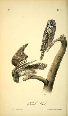 Professional Drawing - Hawk Owl  by Philip Ralley