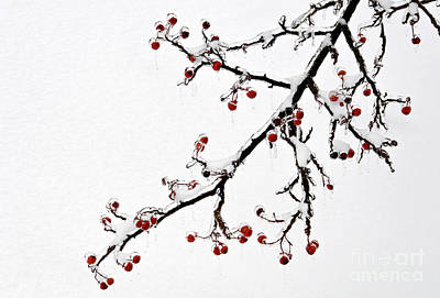 Hawthorn Ice And Snow - D004830 Print by Daniel Dempster