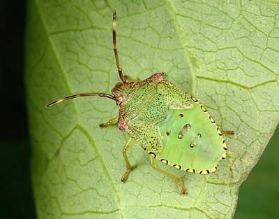 Hawthorn Shield Bug Nymph Print by Nigel Downer