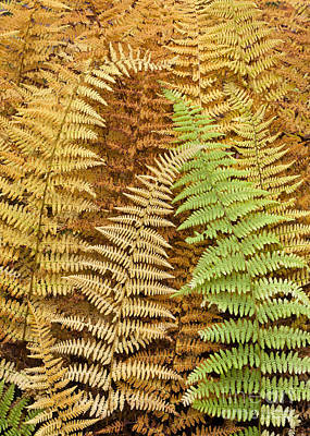 Hay-scented Ferns Print by Alan L Graham