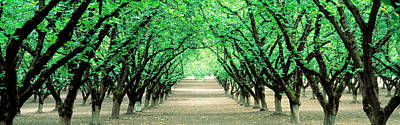 Converging Photograph - Hazel Nut Orchard, Dayton, Oregon, Usa by Panoramic Images