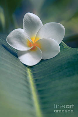 He Aloha No O Waianapanapa - White Tropical Plumeria - Hawaii Print by Sharon Mau