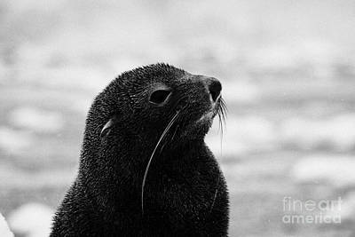 Fournier Photograph - head and shoulders of juvenile fur seal floating on iceberg in Fournier Bay Antarctica by Joe Fox