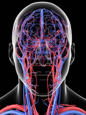 Human Head Photograph - Head Blood Vessels by Sciepro