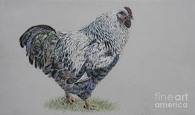 Rooster Drawing - Head Honcho Of The Hen House by Sari Sauls