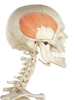 Human Head Photograph - Head Muscles by Sciepro
