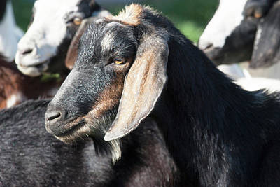 Goat Photograph - Head Of Black And Tan Domestic Goat by Piperanne Worcester