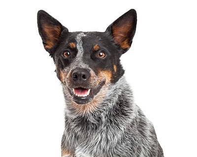 Cattle Dog Photograph - Head Shot Of An Australian Cattle Dog by Susan  Schmitz
