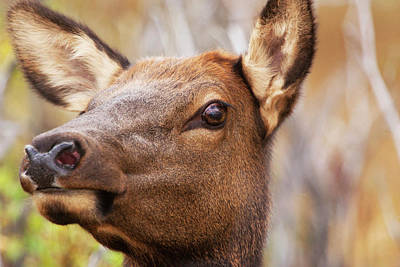 Headshot Of Elk Cow, Rocky Mountain Print by Piperanne Worcester