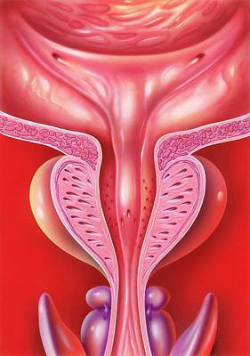 Healthy Bladder And Prostate Print by John Bavosi