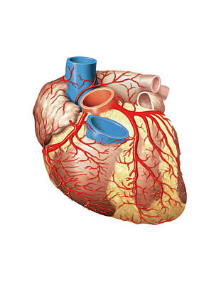 Heart And Left Coronary Artery Print by Asklepios Medical Atlas