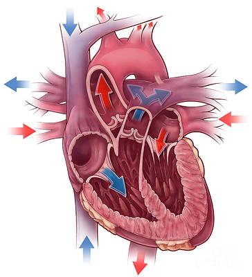 Anatomic Photograph - Heart Blood Flow by Evan Oto