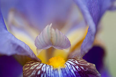 Heart Of Iris. Macro Print by Jenny Rainbow