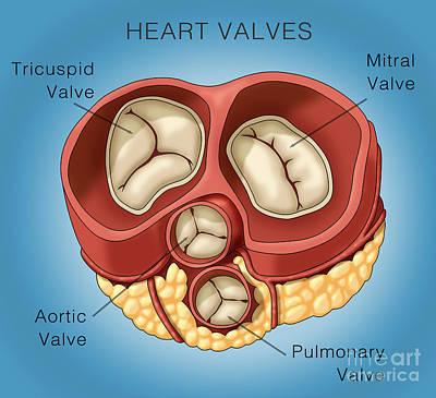 Heart Valves, Illustration Print by Monica Schroeder