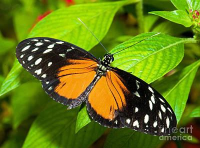 Hecale Butterfly Print by Millard H. Sharp