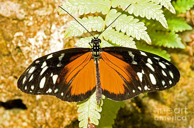 Hecale Longwing Butterfly Heliconius Print by Millard H. Sharp