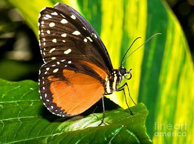 Hecale Longwing Butterfly Print by Millard H. Sharp
