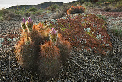 Ditto Photograph - Hedgehog Cactus (echinocereus Sp by Larry Ditto