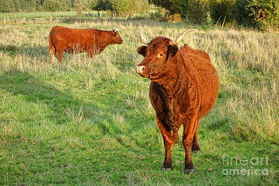 Bull Photograph - Heifer Bulls by Olivier Le Queinec