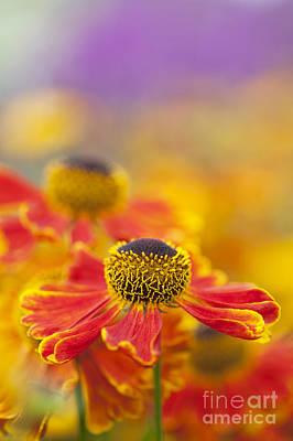 Helenium Waltraut Flowers Print by Tim Gainey
