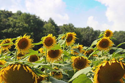 Helianthus Patch 4 Print by Cathy Lindsey