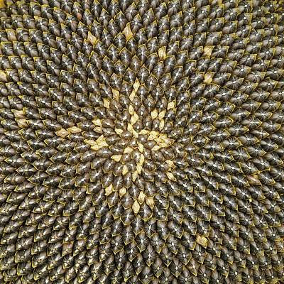 Florets Photograph - Helianthus Sunflower Seeds Close Up by Mark Sykes