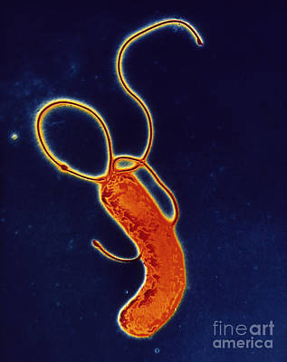 Helicobacter Pylori Bacterium Print by CAMR/A. Barry Dowsett