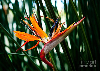Heliconia Painting - Heliconia by Shijun Munns
