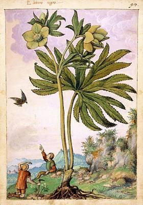 Helleborus Viridis Flowers Print by British Library