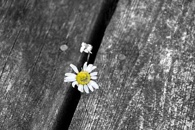 Flower Express Photograph - Hello Daisy by John Stuart Webbstock