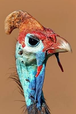 Gamebird Photograph - Helmeted Guineafowl Head by Bildagentur-online/mcphoto-schaef