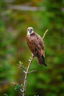 Hawk Photograph - Henry's Fork Osprey by Greg Norrell