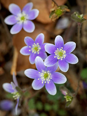 Obtusa Photograph - Hepatica by Tim Devine