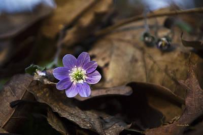 Hepatica Photograph - Hepatica Wildflowers by Christina Rollo