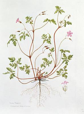 Herb Robert Print by Diana Everett