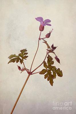 Herb Robert Print by John Edwards