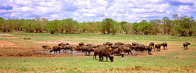 Herd Of Cape Buffaloes Syncerus Caffer Print by Panoramic Images