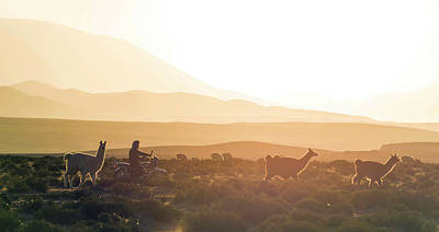 Scenic Photograph - Herd Of Llamas Lama Glama In A Desert by Panoramic Images