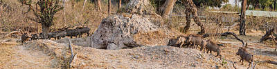 Herd Of Warthogs Phacochoerus Print by Panoramic Images