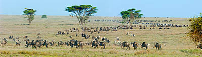 Of Zebra Grazing Photograph - Herd Of Wildebeest And Zebras by Panoramic Images