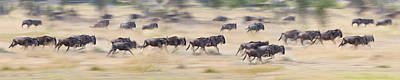 Herd Of Wildebeests Running In A Field Print by Panoramic Images