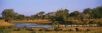 Of Zebra Grazing Photograph - Herd Of Zebra Equus Grevyi And African by Panoramic Images