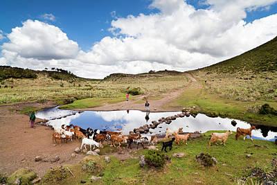 Herd Tended By Oromo Children Print by Martin Zwick