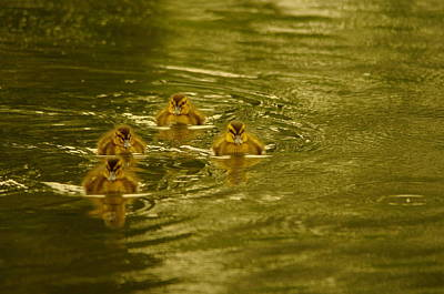 Baby Mallards Photograph - Here Comes The Little Bread Beggers by Jeff Swan