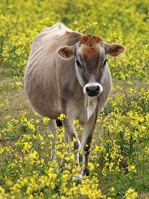 Jersey Cow Photograph - Here I Come - Jersey Cow by Gill Billington