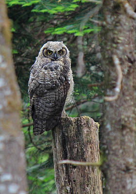 Owlet Photograph - Here's Looking At You by Randy Hall