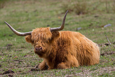 Highland Cattle Bull Print by Allan Morrison